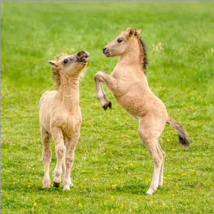 Wood print  Two foals are playing with each other - Katho Menden