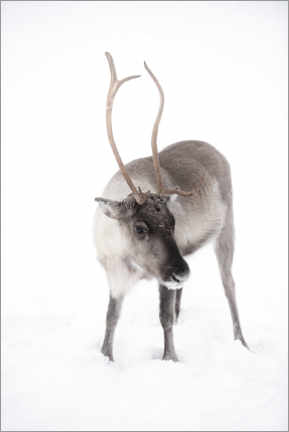 Gallery print  Reindeer in Lapland in the Arctic - Matthew Williams-Ellis