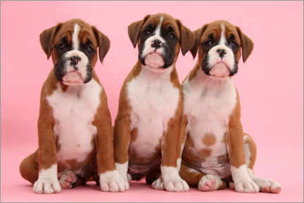 Acrylic print  Three boxer puppies - Mark Taylor