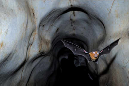 Premium poster  Horseshoe bat leaving the cave - Fletcher & Baylis