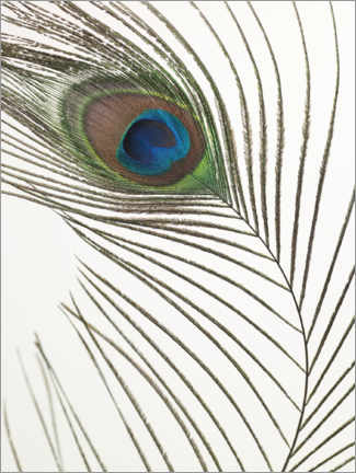 Gallery print  Peacock feather - Assaf Frank