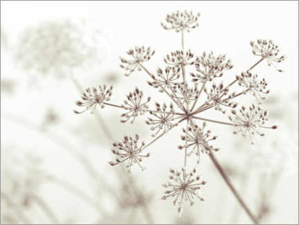 Premium poster Cow parsley