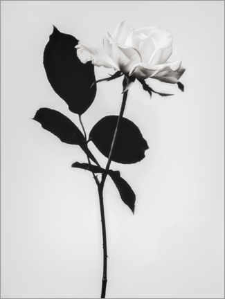 Gallery print  Blooming white - Magda Izzard