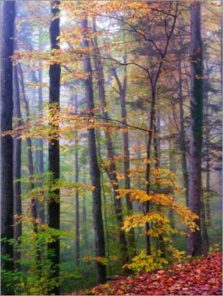 Gallery print  Autumn forest detail with colorful leafes - Peter Wey