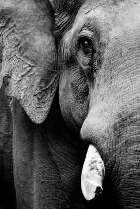 Premium poster Portrait of an Indian elephant