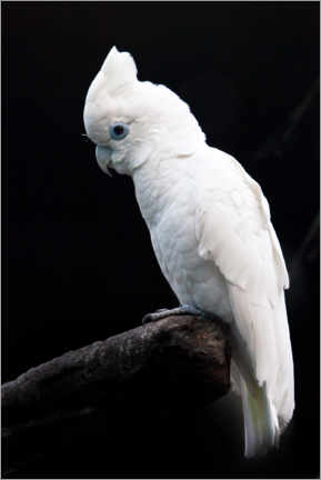 Acrylic print  Beautiful white cockatoo - Mikhail Semenov