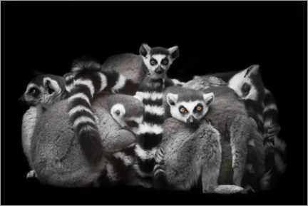 Premium poster Ring-tailed lemurs sleep in a bunch