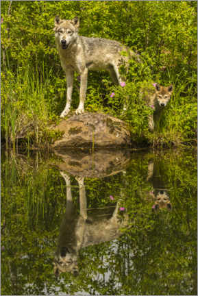 Aluminium print  Wolf and puppy are reflected in the lake - Jaynes Gallery