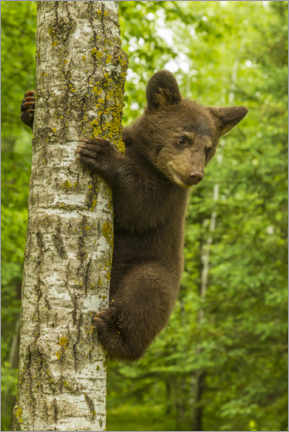 Premium poster Black bear cub climbs a tree