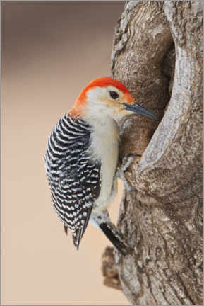 Premium poster Red-bellied woodpecker