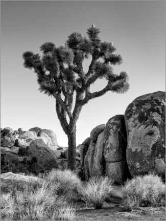 Premium poster Joshua tree in the morning sun