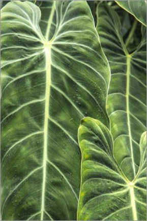 Gallery print  Leaves of the elephant ear plant - Mallorie Ostrowitz
