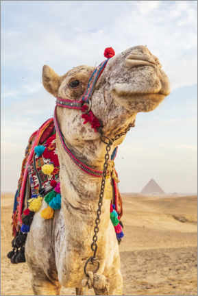Premium poster  Camel near the great Giza pyramids - Emily Wilson