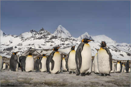 Premium poster Mountain and King Penguin Colony