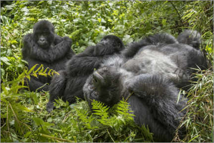 Gallery print  Mountain gorillas resting in the rainforest - Paul Souders