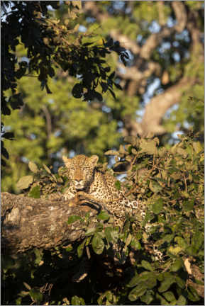 Premium poster  African leopard in the tree - Cindy Miller Hopkins