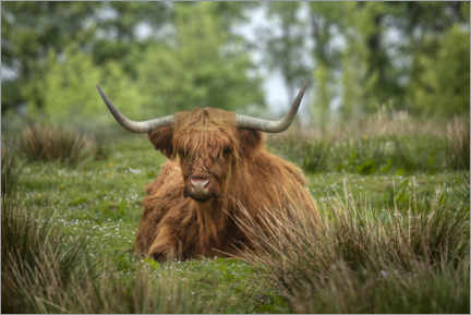 Acrylic print  Highland cattle in a meadow - Jaynes Gallery