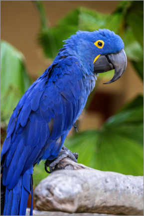 Canvas print  Hyacinth Macaw - Jim Engelbrecht