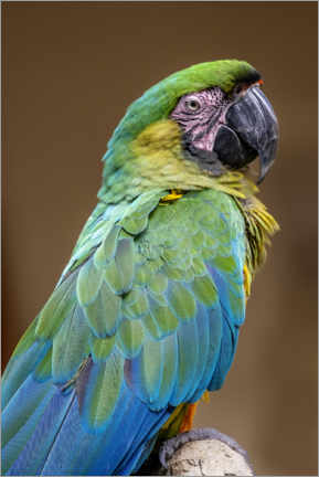 Aluminium print  The Dominican green and yellow macaw - Jim Engelbrecht