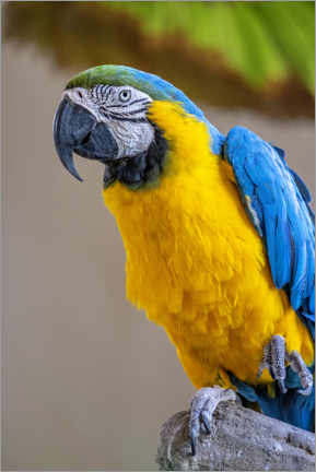 Premium poster Blue-and-yellow macaw