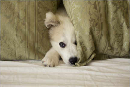 Canvas print  Little puppy is hiding - Jaynes Gallery