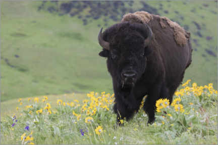 Premium poster Bison in a wildflower meadow