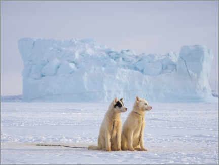 Acrylic print  Sled dogs in Greenland - Martin Zwick