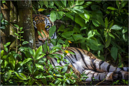 Acrylic print  A Malay tiger in the thicket - Larry Richardson