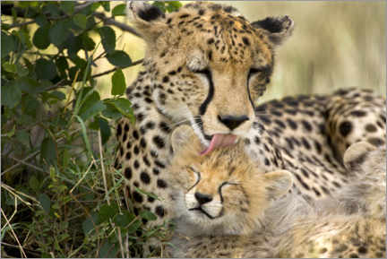 Premium poster  Cat washing with the cheetahs - Jaynes Gallery