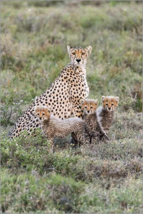 Premium poster Cheetah mother with cubs