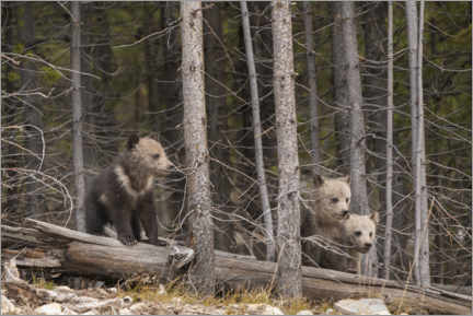 Premium poster Three grizzly bear cubs