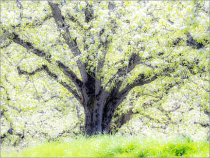 Aluminium print  Spring blooming apple tree - Sylvia Gulin