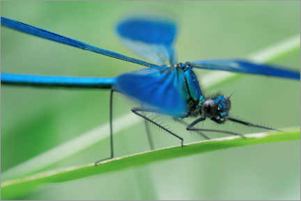Gallery print  The dragonfly - Martin Podt