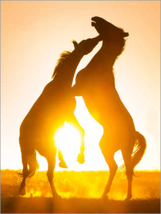 Premium poster Two horses wrestle in the sunset