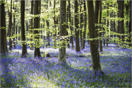 Premium poster Forest with hare bells in spring