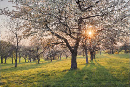 Premium poster Blooming cherry trees at sunset