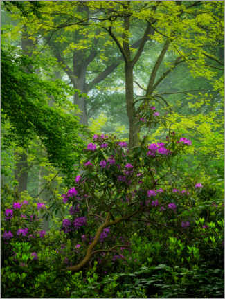 Acrylic print  Rhododendrons in a green forest - Jos Pannekoek