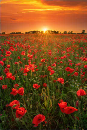 Wood print  Poppies at sunset - Martin Podt