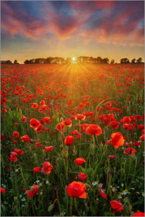 Acrylic print  Poppies at sunset II - Martin Podt