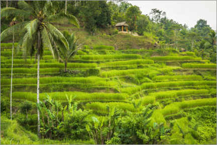 Premium poster  Rice fields at Tegallalang Rice Terrace, Bali, Indonesia - Russ Bishop