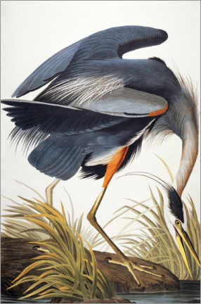 Premium poster  Great Blue Heron - John James Audubon