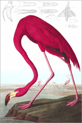 Wood print  American flamingo, The Birds of America - John James Audubon