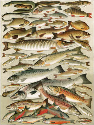 Premium poster Our British Fresh Water Fish