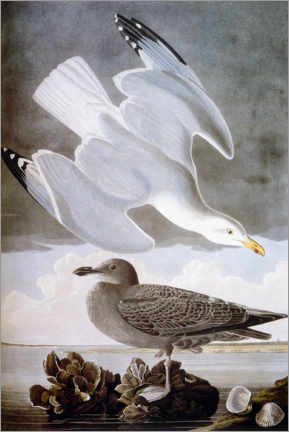 Canvas print  Gull - John James Audubon