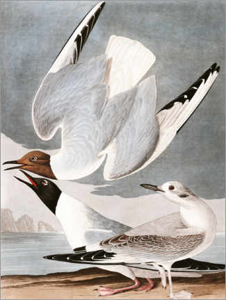 Wood print  Gulls - John James Audubon