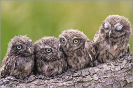 Friedhelm Peters - 4 little owls