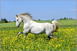 imageBROKER - 6 years old Arabian horse stallion galloping