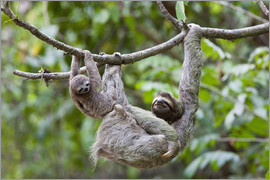 Jim Goldstein - A young Brown-throated Sloth (Bradypus variegatus) and it's mother hang on branch in the jungle of C