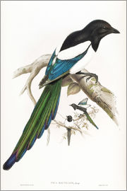 John Gould - Afghan Magpie