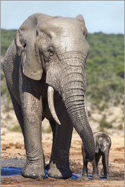 Ann & Steve Toon - African elephants (Loxodonta africana) adult and baby, Addo National Park, Eastern Cape, South Afric